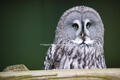 Great Grey Owl at Huxley's Bird of Prey Centre