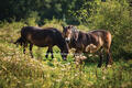 Exmoor ponies on the Knepp Safari